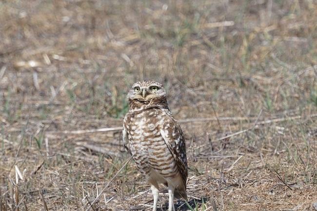 burrowing owl fairview park costa mesa
