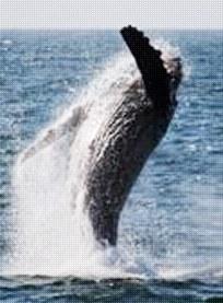 Newport Landing Whale Watching Image